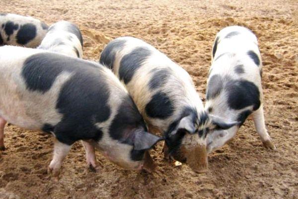 Свині Петрен на вулиці