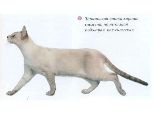 Тонкинская порода кішки