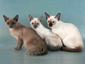 Породи тонкинских кішок