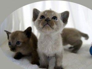 Відданість тонкинских кішок
