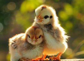 Особливості догляду за курчатами в перші дні життя