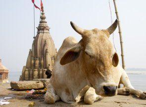Особливий статус корови в індуїзмі або поклоніння священній тварині