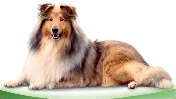 Шелти, фото собаки фотографія