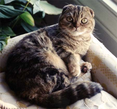Остеохондродісплазіі шотландських висловухих кішок.