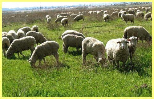 Відгодівлю овець на м`ясо в домашніх умовах