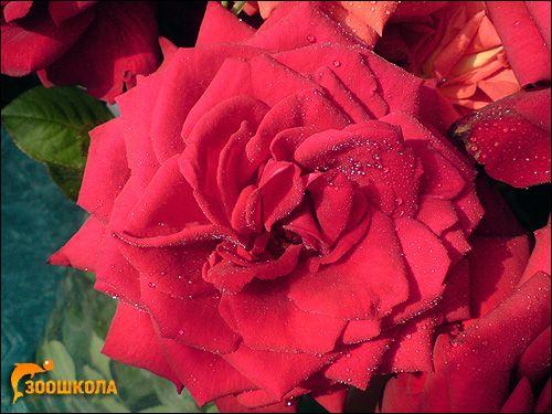 Червона троянда. Фото, фотографія квіти