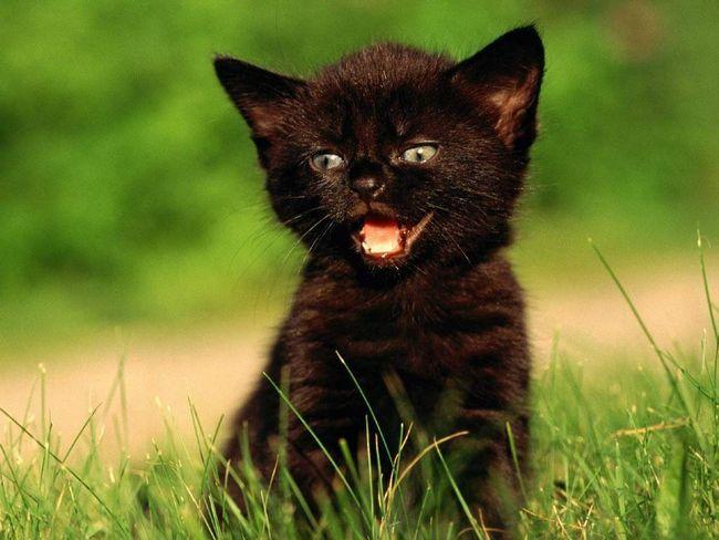 Чи відображає забарвлення кошеня його характер і темперамент?