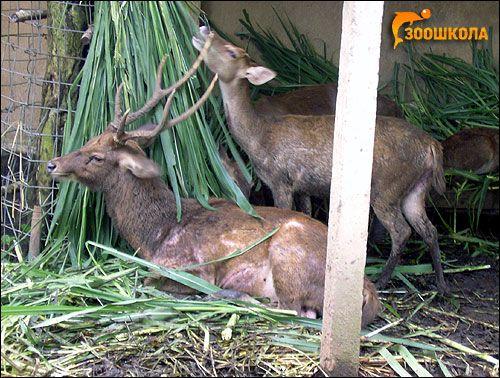 Сімейство олені (cervidae)