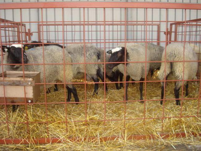 Дорослі вівці в спеціальному огородженні
