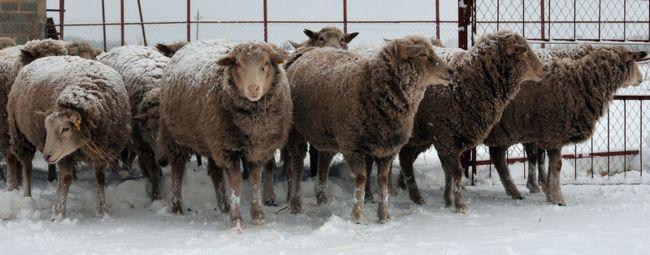 Ташлінскіе овечки на снігу