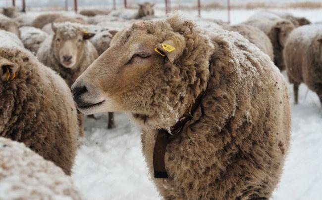 Ташлінскіе овечки на вигулі