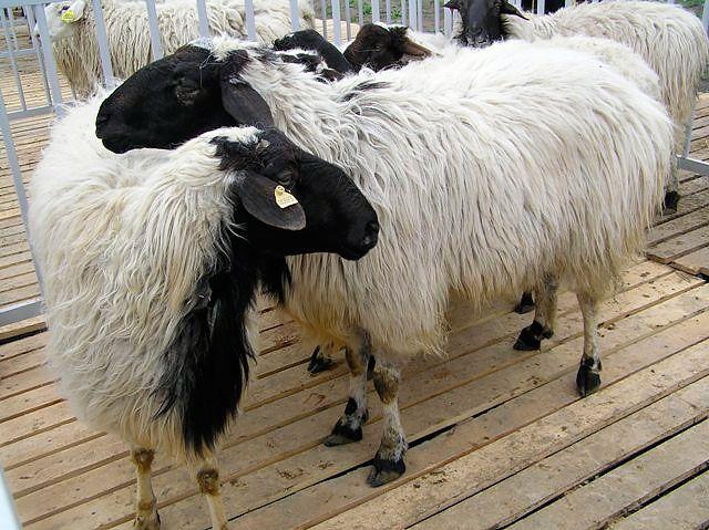 Білі вівці з чорними головами