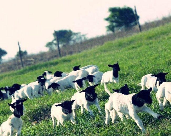 Стадо овечок на випасі