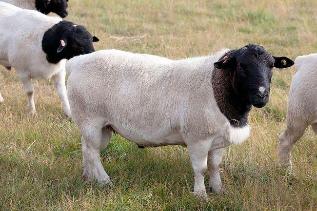 Дорперскіе овечки на вигулі
