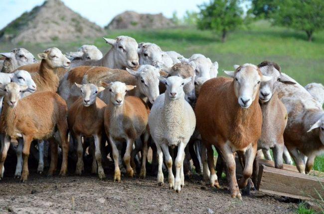 Стадо катумскіх овечок