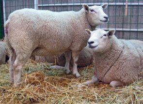 Овечка «в положенні»: всі секрети вагітності овець
