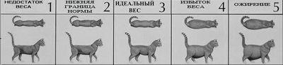 Схема визначення ожиріння у кішок