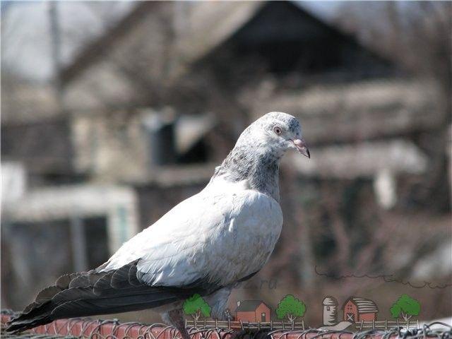 Пакистанські бійні голуби - чудові літуни з різноманітністю забарвлень