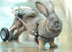 Параліч задніх кінцівок у кроликів: як правильно вирішити проблему