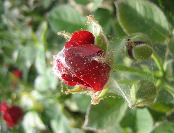 Павутина на троянді кімнатної як боротися: павутинний кліщ