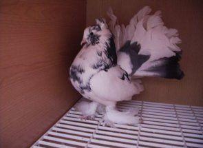 Павичі, чайки, снігурі і сороки - дивовижні породи голубів