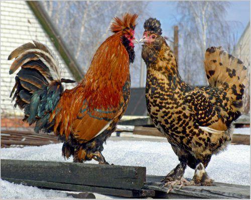 павловські кури
