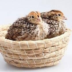 Перепели в домашніх умовах: зміст, розведення, перепелині яйця, користь для здоров`я м`яса перепелів і яєць