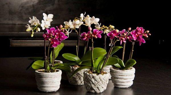 Пересадка орхідеї фаленопсис в домашніх умовах покроково