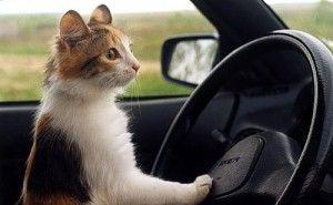 Перевезення кішок