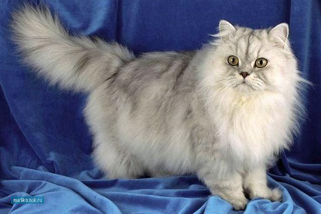 Персидська кішка, перська порода кішки