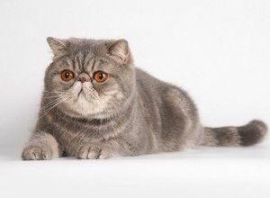 Перська порода кішок
