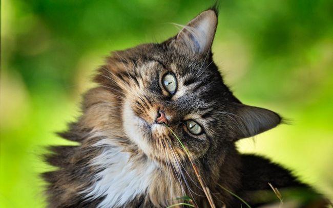 Перспективи розведення сибірських кішок