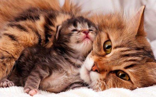 Як народжують кішки
