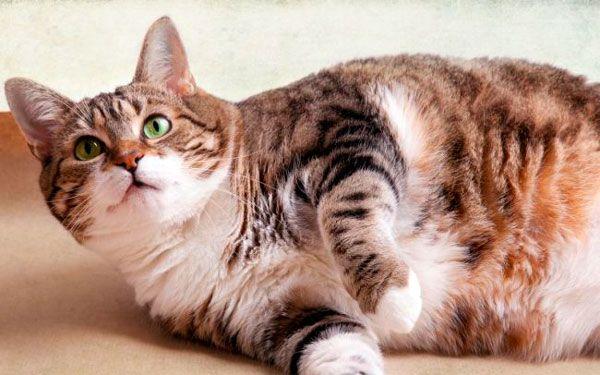 початок пологів у кішки