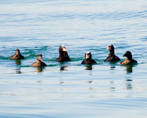 Самці і самки пливуть