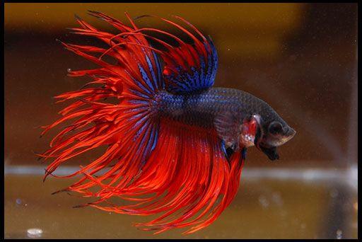 Петушки - акваріумні рибки
