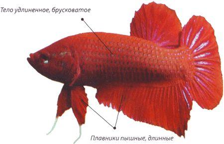 Петушок або бійцівська рибка