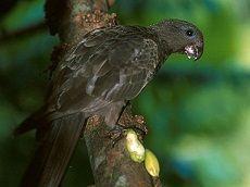 Співочі попугаірод psephotus