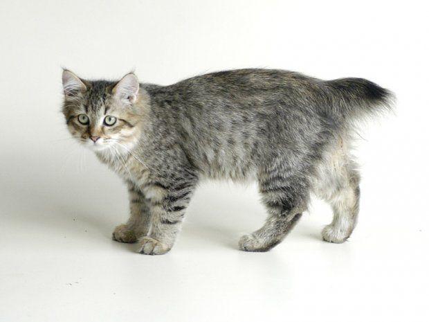 Порода кішок піксибоб