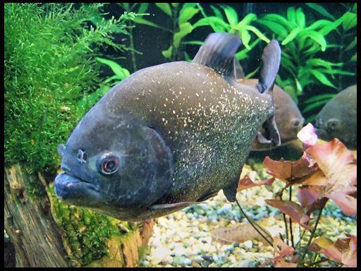 Піраньї - акваріумні хижаки