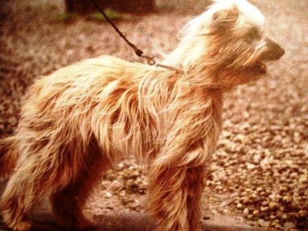 Піренейська вівчарка