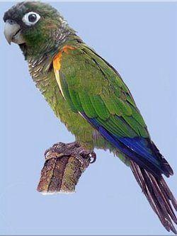 Красноплечий краснохвостий попугайpyrrhura egregia