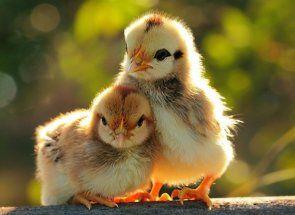 Харчування курчат несучок від народження до 1 місяця