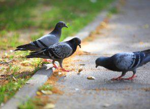Харчування голубів від а до я