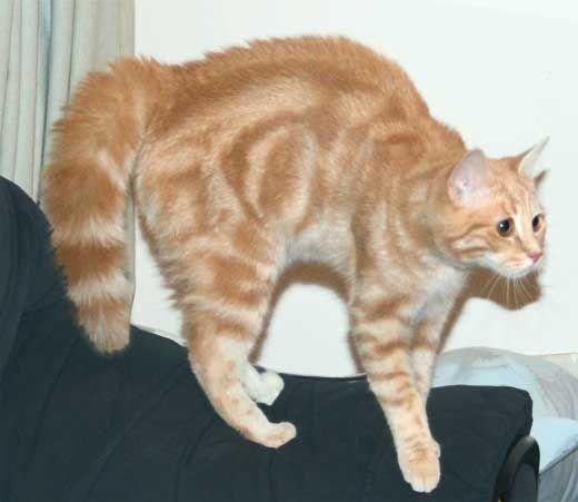 П`ять цікавих фактів про хвості кішки.