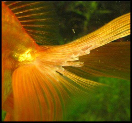 Плавникова гниль, лікування акваріумних риб