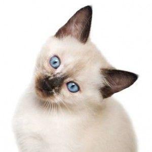 Чому чхає кішка