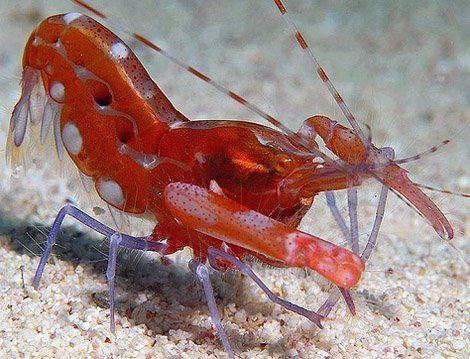 Чому через рак-щелкуна глухнуть риби?