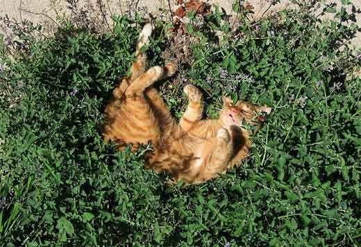 Чому котяча м`ята так приваблює котів?