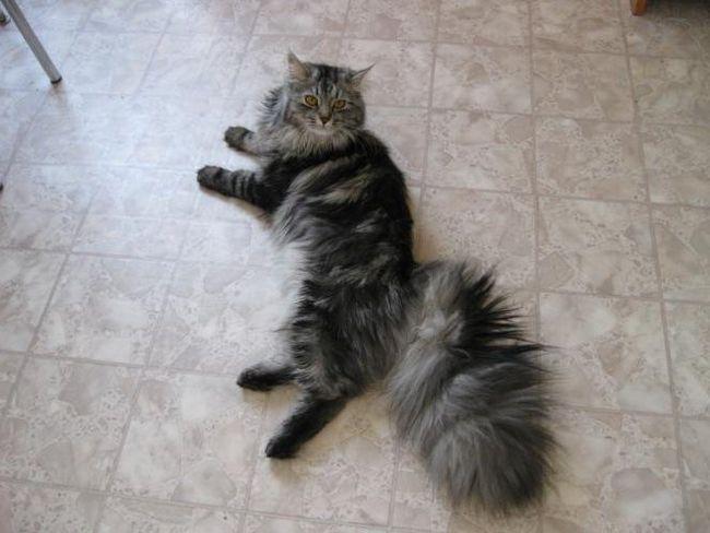 Ваш кіт виляє хвостом - це нехороший знак